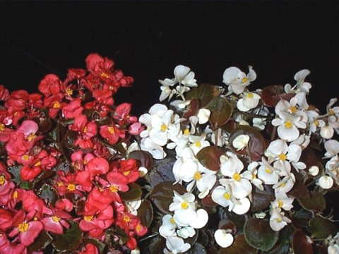 Begonia x semperflorens-cultorum