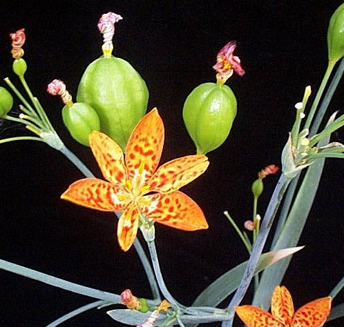 Picturelily Flower on Belamcanda Chinensis   Blackberry Lily   Iridaceae