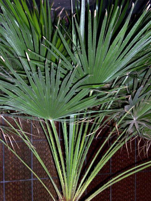 chamaerops humilis european fan palm arecaceae. Black Bedroom Furniture Sets. Home Design Ideas