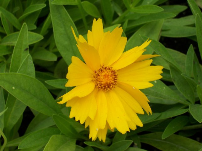 Coreopsis grandiflora - Pot of Gold - Asteraceae