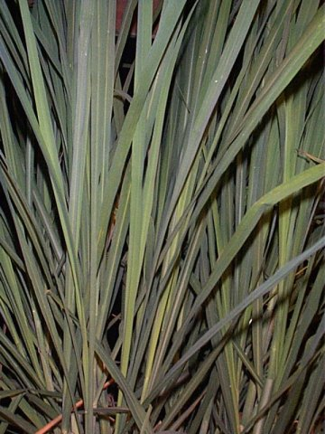 Cymbopogon citratus - Lemongrass - Poaceae