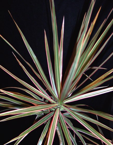 Dracaena marginata - Rainbow Tree