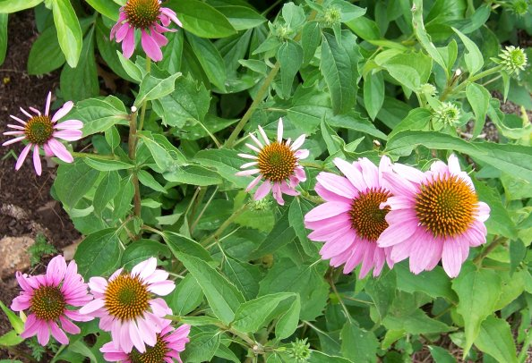 echinacea purpurea purple coneflower asteraceae. Black Bedroom Furniture Sets. Home Design Ideas