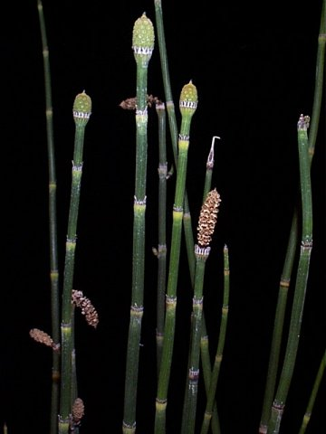 The common horsetail