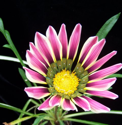 Gazania rigens 'Sunshine Mix' - Treasure Flowers - Asteraceae