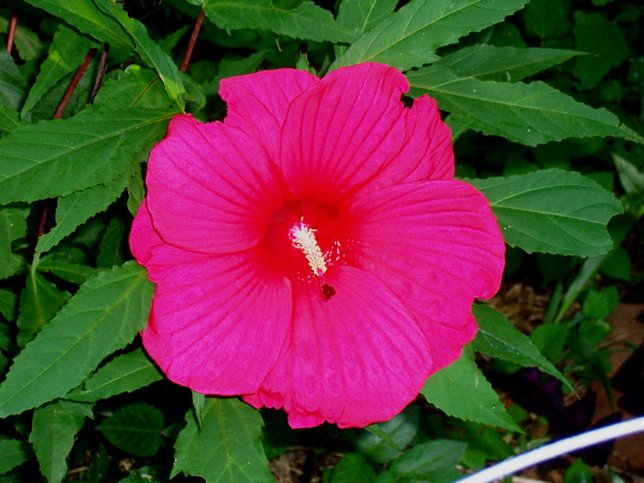 Hibiscus moscheutos 'Southern Belle Strain' - Hardy Hibiscus - Malvaceae