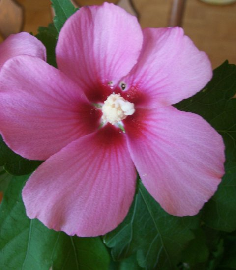 Hibiscus syriacus - Rose-Of-Sharon - Malvaceae