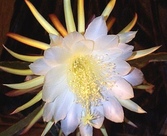 Hylocereus Undatus Night Blooming Cereus Cactaceae