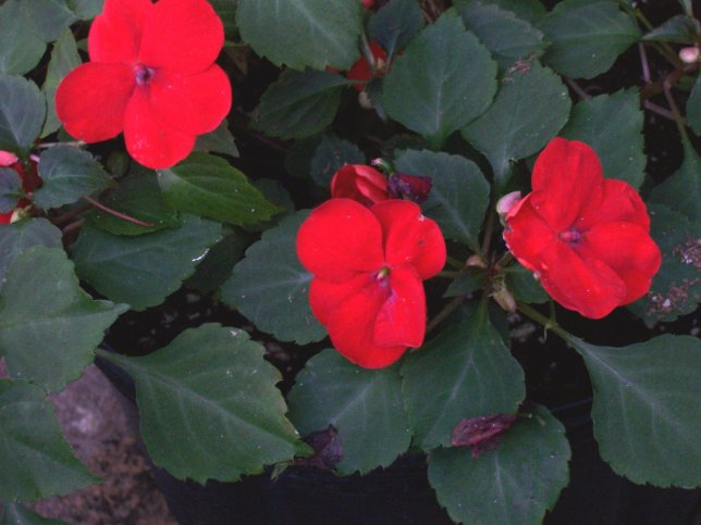 Impatiens walleriana hybrids 'Super Elfin Red'