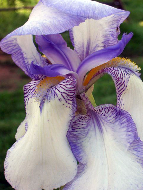 Iris sp. - Bearded Iris - Iridaceae