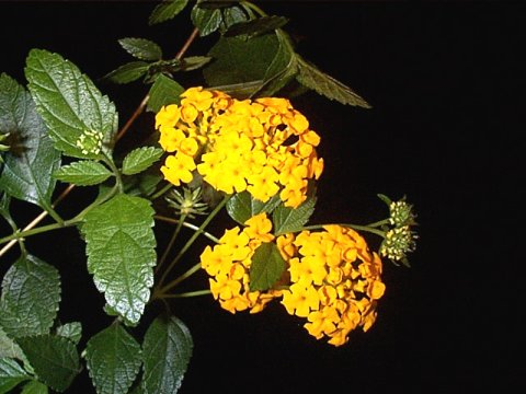 Lantana montevidensis 'Pot of Gold'