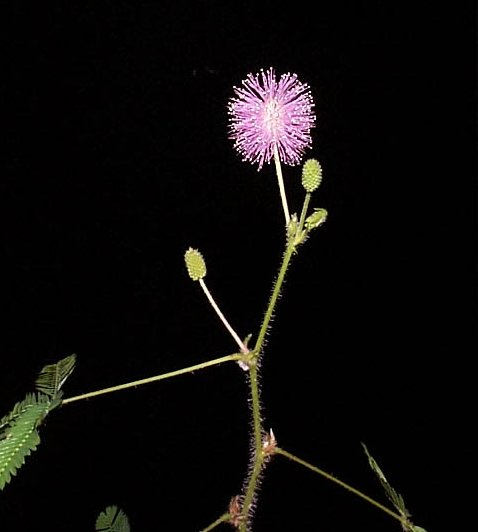 Mimosa pudica - Sensitive Plant - Leguminosae
