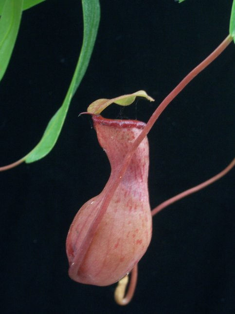 Nepenthes sp. - Monkey Cup - Nepenthaceae