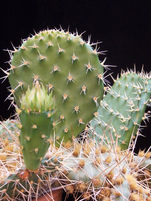 Opuntia polycantha - Prickly Pear - Cactaceae