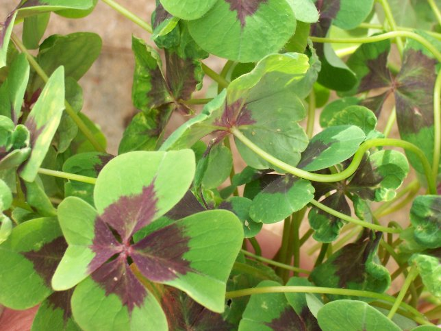 Oxalis deppei 'Iron Cross' - Good Luck Shamrock