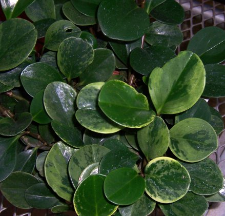 Peperomia obtusifolia 'variegata' - Variegated Baby Rubber Plant