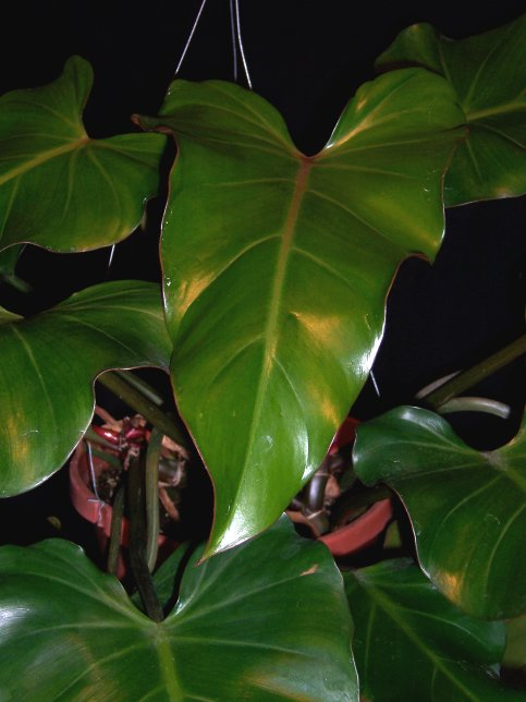 Philodendron erubescens - Blushing Philodendron