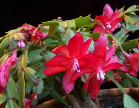 Schlumbergera truncata - Thanksgiving Cactus - Cactaceae