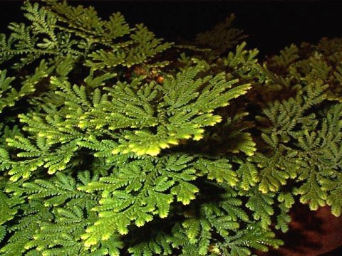 Selaginella pallescens