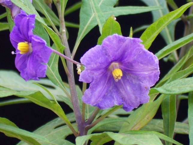 Solanum laciniatum - Kangaroo Apple