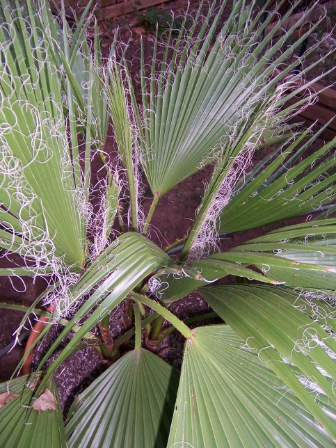 Washingtonia robusta - Mexican Fan Palm - Arecaceae